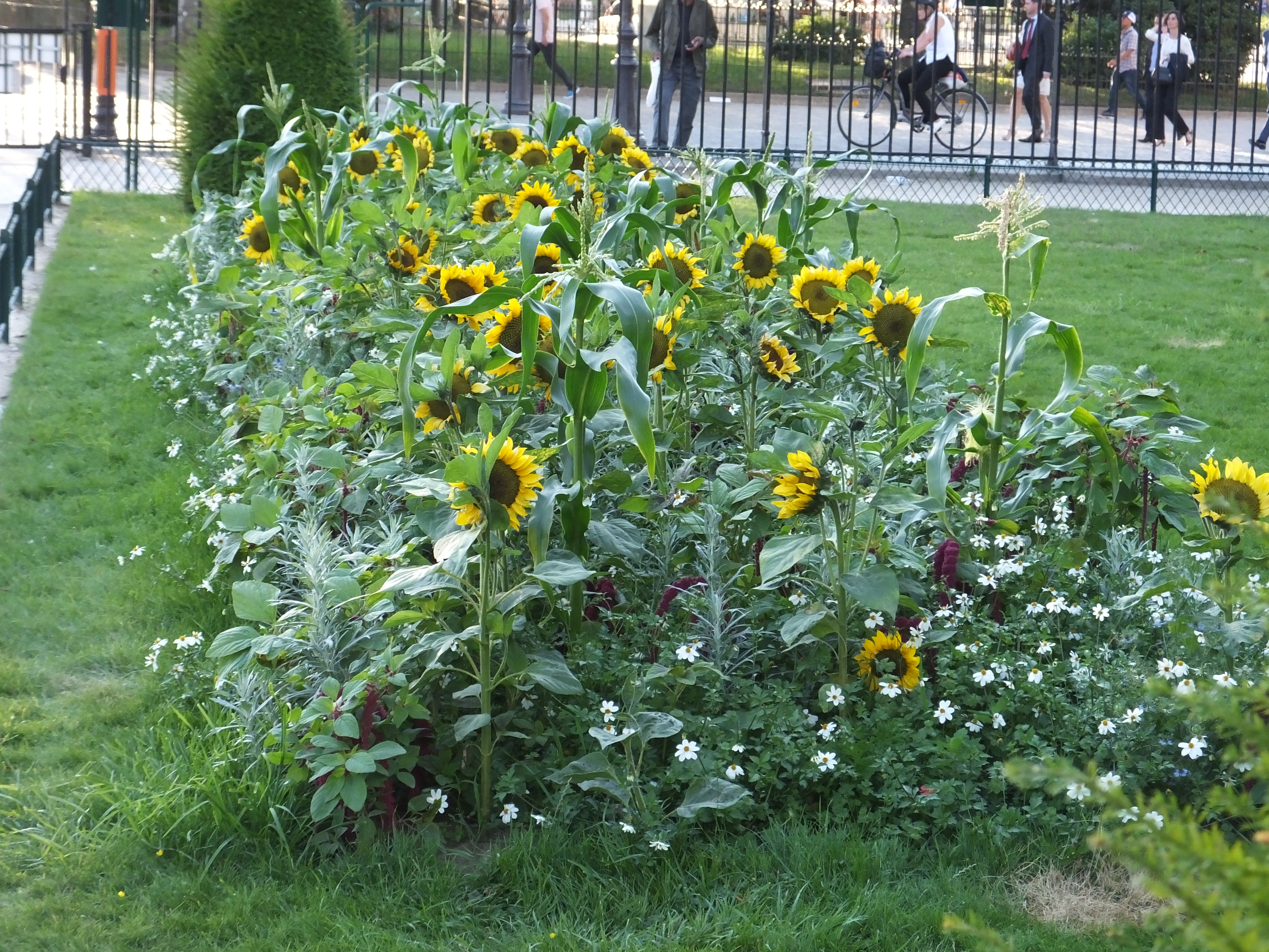 The sunflowers in the park next to Notre Dame